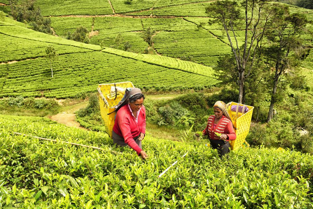 Nuwara Eliya is the heart of the tea industry. The climate, geography and geology of the Sri Lankan Highlands is ideal for tea cultivation but it is very labour intensive. In this Image; Tamil, Sri Lankan, female workers picking tea bush tips to make ceylon tea. When the workers bags are full with fresh picked tea bush tips they are sent to the wholesaler. The tea pickers can get an hour lunch break and a half hour tea break in the day which starts at 7.30am, an hour after dawn. It is very hard work. Some of the tea plantations are just under 7,000 feet high. White sticks  used as a measurement and determines the level of plant  to be collected.