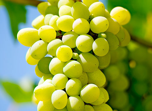 Grapes_500px_wide_FreshPoint1
