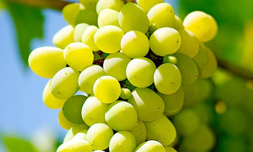 Grapes_500px_wide_FreshPoint2