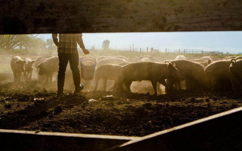 feeding livestock shutterstock_269068817