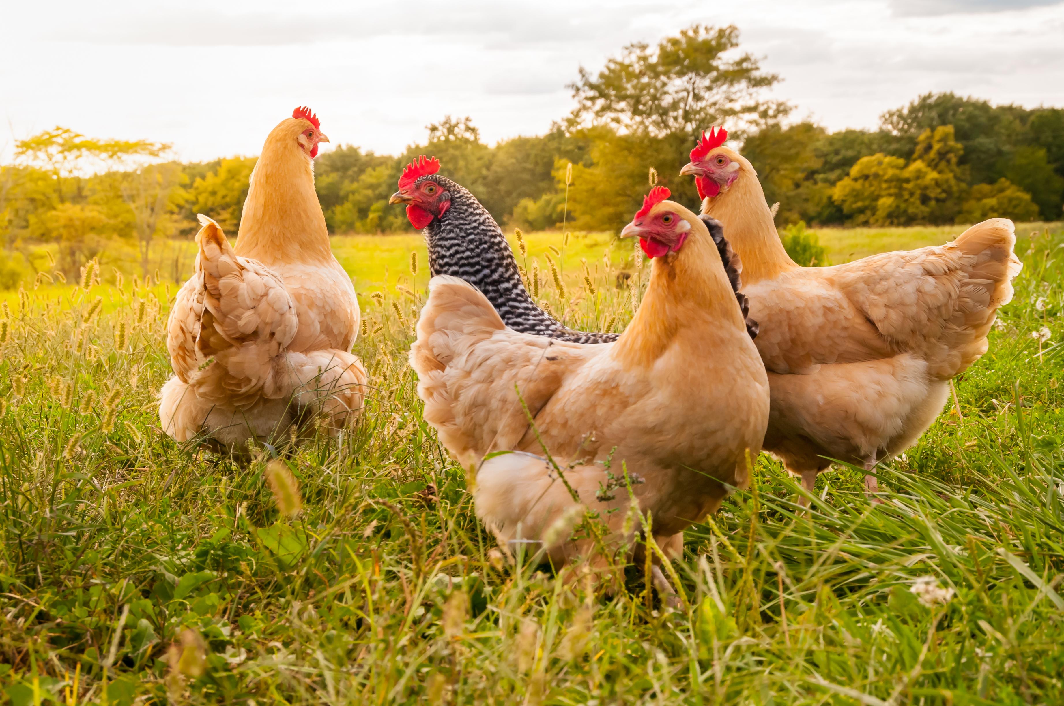 poultry shutterstock_752120836